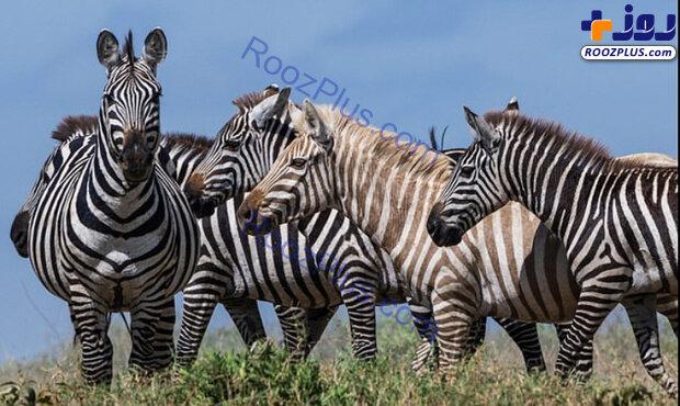 گور خر بلوند در تانزانیا! +عکس
