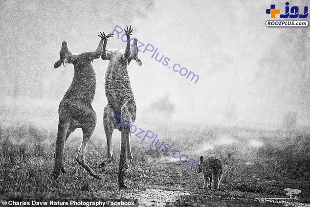 شکرگزاری دیدنی دو کانگرو زیر باران +عکس
