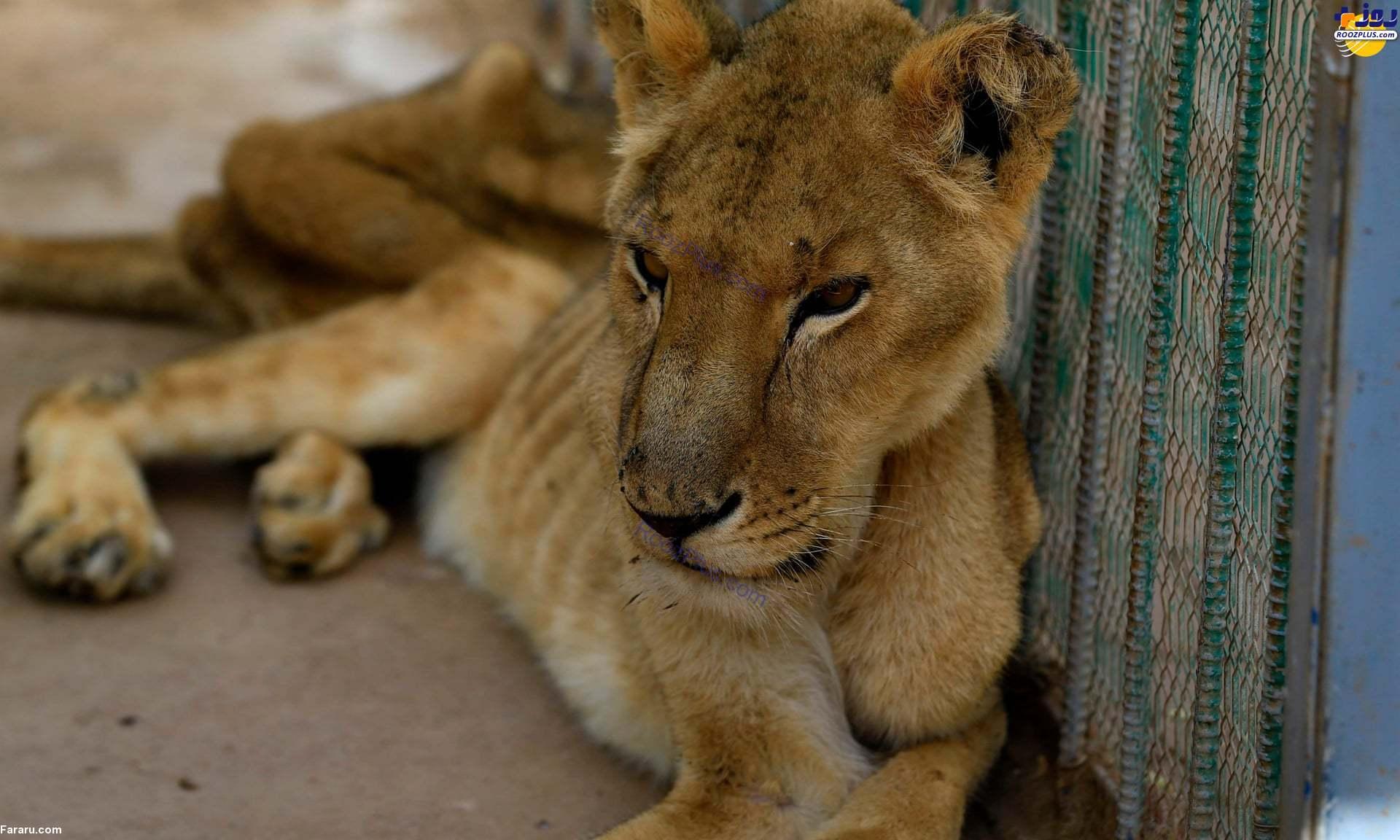 عکس/تصاویر هولناک از مرگ تدریجی شیرها از گرسنگی در باغ وحش!