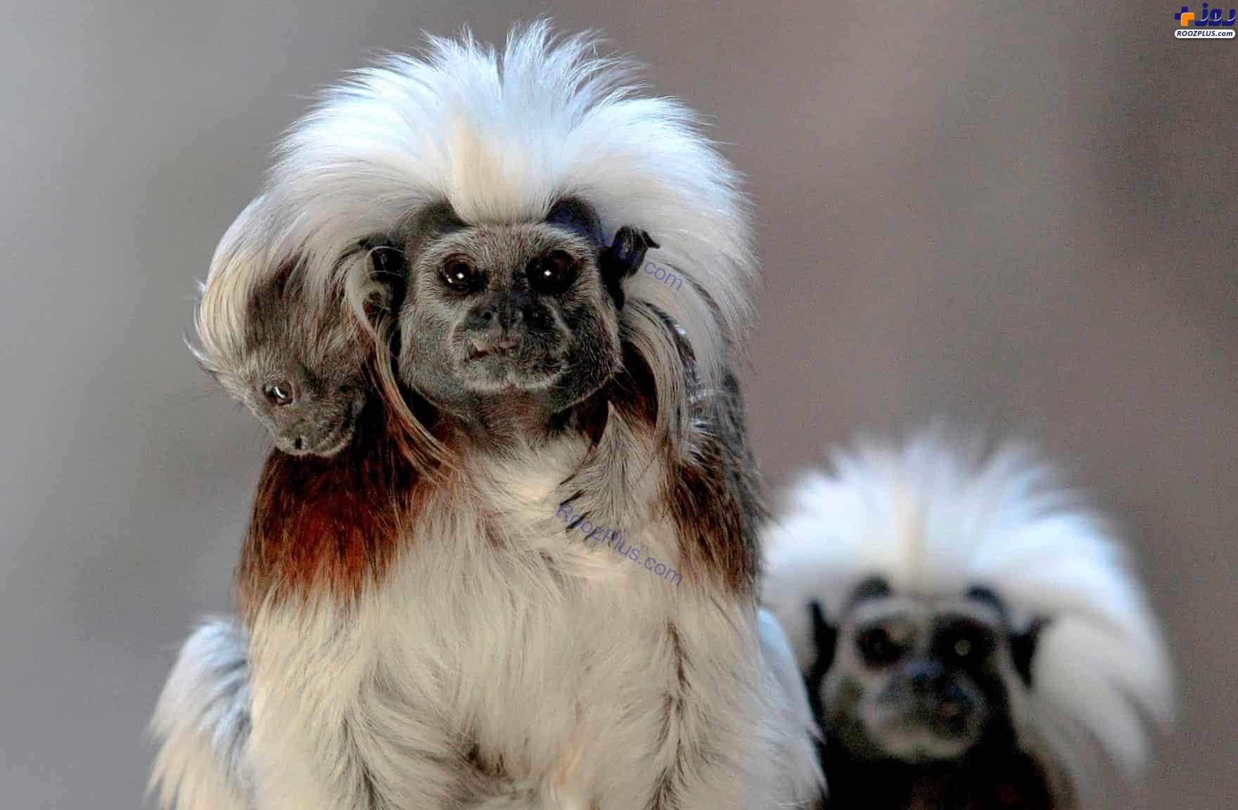 میمونهای تامارین در مکزیک +عکس