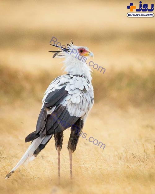 «مرغ مُنشی» پرنده زیبایی که نماد آفریقای جنوبی شد +عکس