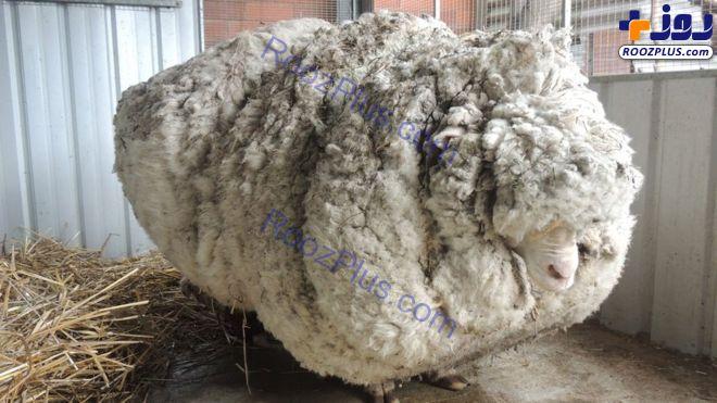 مرگ ناگهانی پشمالوترین گوسفند جهان+عکس