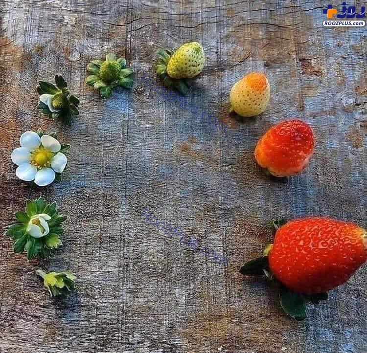چرخه رشد توت فرنگی +عکس