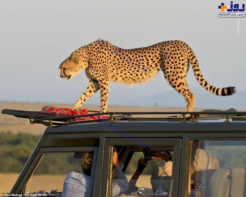 رژه وحشتناک یوزپلنگ روی خودروی گردشگران/عکس