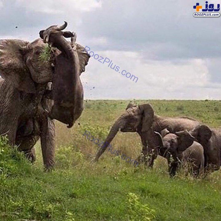 نبرد فیل با بوفالوی قاتل +عکس